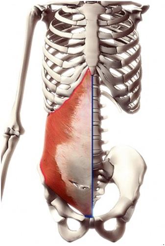mięsień poprzeczny brzucha